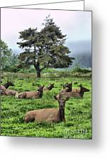Roosevelt Elk Lounging Greeting Card by Nena Trapp