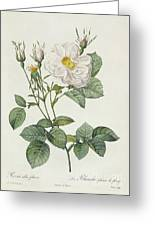 Rosa Alba Foliacea Greeting Card by Pierre Joseph Redoute