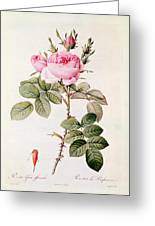 Rosa Bifera Officinalis Greeting Card by Pierre Joseph Redoute