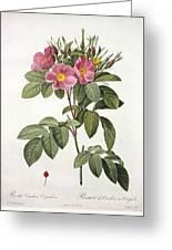 Rosa Carolina Corymbosa Greeting Card by Pierre Joseph Redoute
