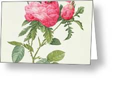 Rosa Centifolia Prolifera Foliacea Greeting Card by Pierre Joseph Redoute
