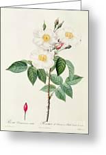 Rosa Damascena Subalba Greeting Card by Pierre Joseph Redoute