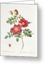 Rosa Eglantera Punicea Greeting Card by Pierre Joseph Redoute