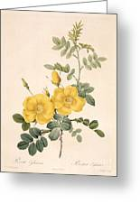 Rosa Eglanteria Greeting Card by Pierre Joseph Redoute