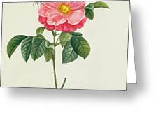 Rosa Gallica Flore Marmoreo Greeting Card by Pierre Joseph Redoute