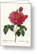 Rosa Gallica Greeting Card by Granger
