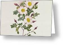 Rosa Pimpinelli Folia Inermis Greeting Card by Pierre Joseph Redoute