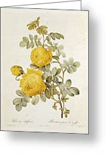 Rosa Sulfurea Greeting Card by Pierre Redoute