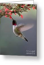 Ruby Throated Hummingbird Greeting Card by Sabrina L Ryan