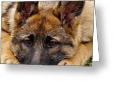 Sable German Shepherd Puppy Greeting Card by Sandy Keeton