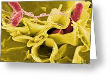 Salmonella Bacteria, Sem Greeting Card by Science Source