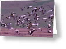 Sandhill Cranes  Greeting Card by Jeff Swan