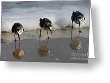 Sandpipers Feeding Greeting Card by Dan Friend