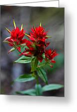 Scarlet Red Indian Paintbrush Greeting Card by Karon Melillo DeVega