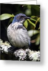 Scrub Jay . 7d6670 Greeting Card by Wingsdomain Art and Photography