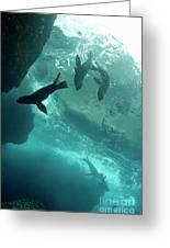 Sea Lions Greeting Card by Sami Sarkis