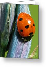 Seven Spotted Lady Beetle Greeting Card by Katie LaSalle-Lowery