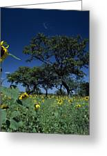Shea Trees Intercropped With Sunflowers Greeting Card by David Pluth