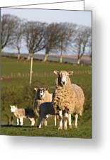 Sheep, Lake District, Cumbria, England Greeting Card by John Short