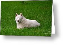 Siberian Husky Greeting Card by Carol  Bradley