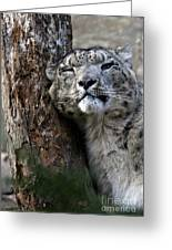 Snow Leopard Greeting Card by Karol  Livote
