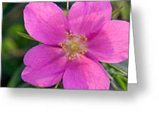 Soft Light On Nootka Rose Rosa Nutkana Greeting Card by Ralph Lee Hopkins