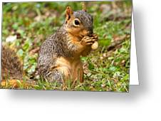 Squirrel Eating A Peanut Greeting Card by James Marvin Phelps