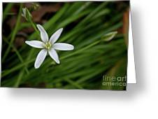 Star Of Bethlehem Flower Greeting Card by Brent Parks