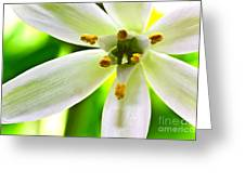 Star Of Bethlehem Grass Lily Greeting Card by Ryan Kelly