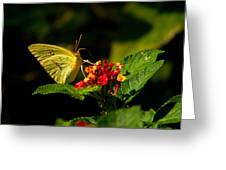 Sulpher Butterfly on Lantana Greeting Card by Douglas Barnett