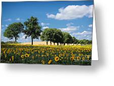 Sunflower Field 2 Greeting Card by SK Pfphotography