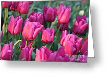 Sunlight On Pink Tulips Greeting Card by Carol Groenen