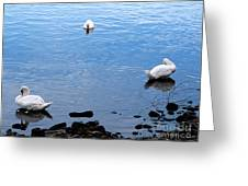 Swan Lake Greeting Card by Colleen Kammerer