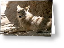 Texas Coyote Greeting Card by Jeannie Burleson