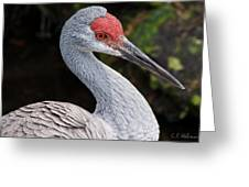 The Greater Sandhill Crane Greeting Card by Christopher Holmes