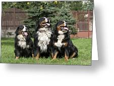 Three Bernese Mountain Dog portrait Greeting Card by Waldek Dabrowski