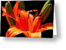 Tiger Lily Greeting Card by Christopher Holmes