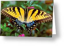 Tiger Swallowtail Greeting Card by Alan Lenk