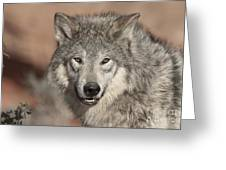 Timber Wolf Portrait Greeting Card by Sandra Bronstein