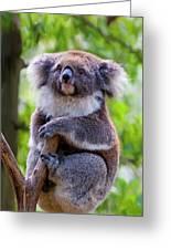 Treetop Koala Greeting Card by Mike  Dawson