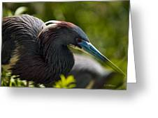 Tri-colored Heron Greeting Card by Christopher Holmes