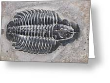 Trilobite Greeting Card by Robert J Erwin and Photo Researchers