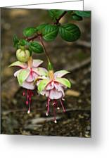 Two Fushia Blossoms Greeting Card by Douglas Barnett