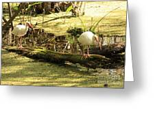 Two Ibises On A Log Greeting Card by Carol Groenen