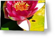 Water Lily FC 2 Greeting Card by Diana Douglass