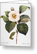 White Camellia Greeting Card by Granger