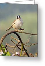 White Crowned Sparrow Greeting Card by Laura Mountainspring