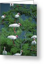 White Ibis At Galveston Bay Near Smith Greeting Card by Joel Sartore