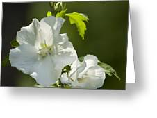 White Rose Of Sharon Squared Greeting Card by Teresa Mucha
