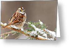 White Throated Sparrow Greeting Card by Alan Lenk